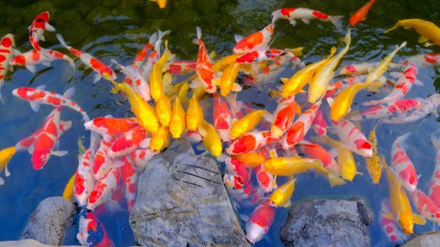 5 Best Benefits of a Backyard Koi Pond