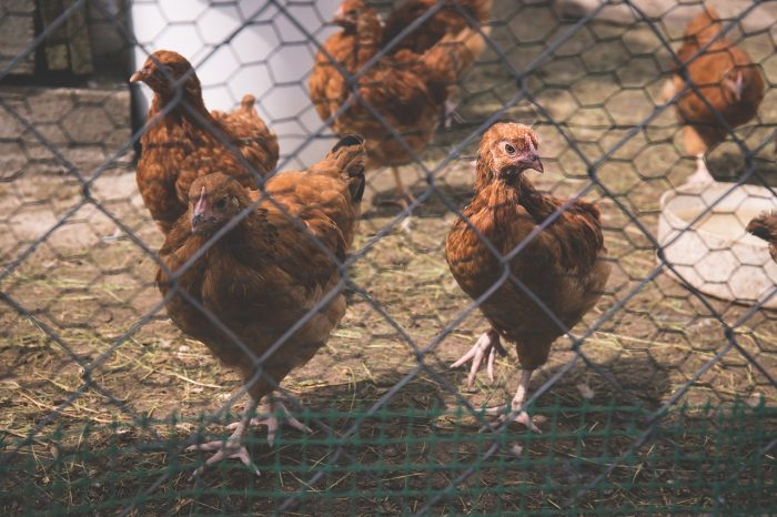 Keep Your Chickens Safe from Winter Predators