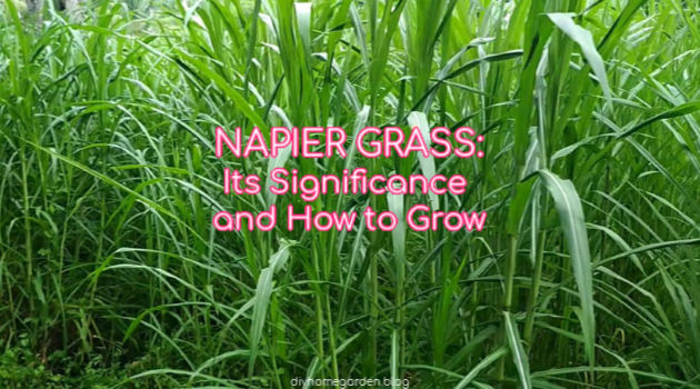 Napier Grass: Its Significance and How to Grow