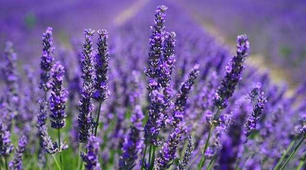 Lavender: How to Grow and Use a Multi-tasking Herb