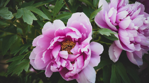 What Every Gardener Should Know About the Peony