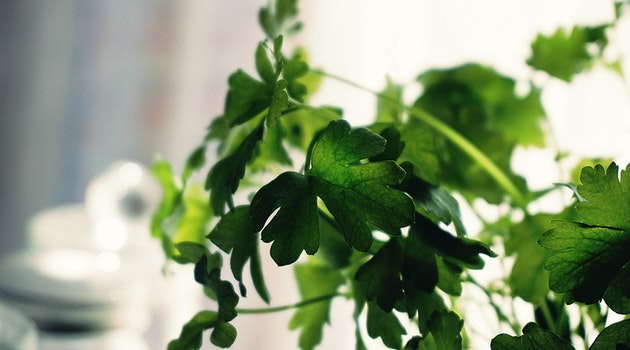 Cilantro: A Growing, Care, and Use Guide