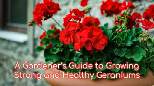A Gardener's Guide to Growing Strong and Healthy Geraniums