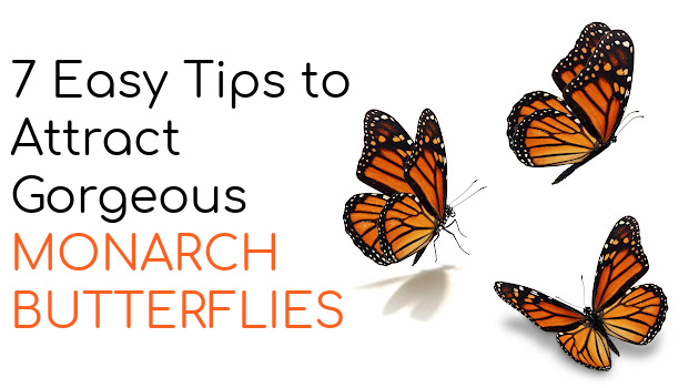 7 Easy to Implement Tips to Attract Gorgeous Monarch Butterflies