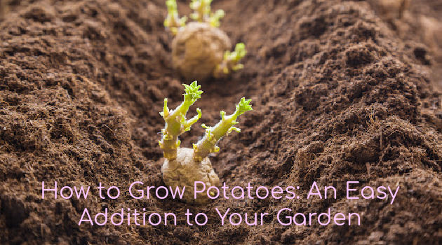 How to Grow Potatoes: An Easy Addition to Your Garden