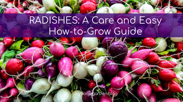Radishes: A Care and Easy How-to-Grow Guide