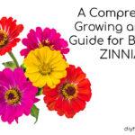 zinnia plants