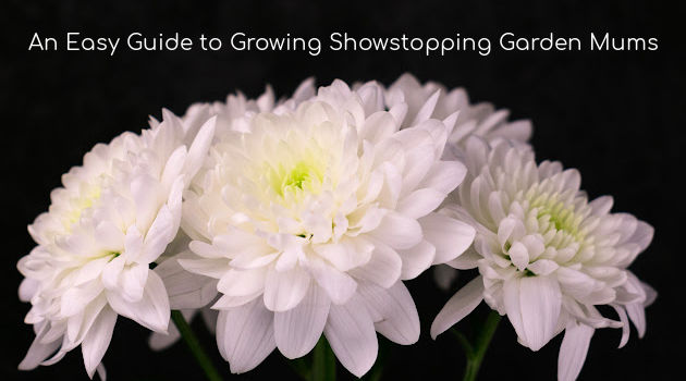 An Easy Guide to Growing Showstopping Garden Mums