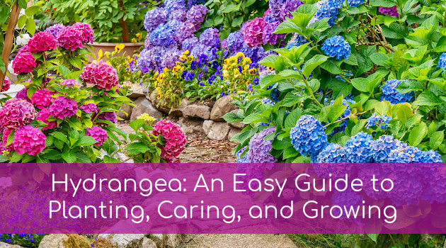 Hydrangea: An Easy Guide to Planting, Caring, and Growing