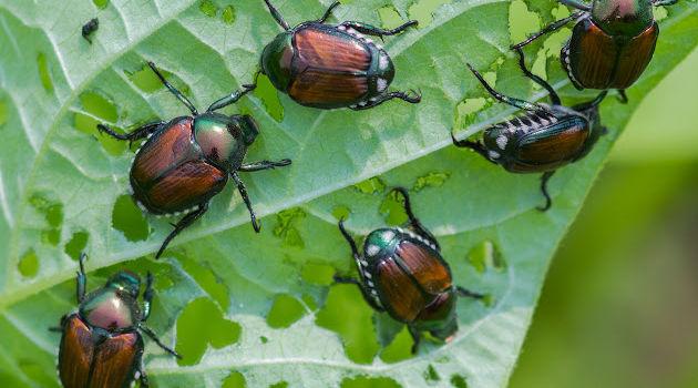 13 Surprisingly Easy Ways to Get Rid of Japanese Beetles